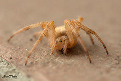 Funny spider (SimTheo) Tags: spider macro nature ragno