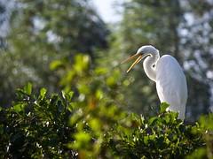Grande aigrette (ardea alba) (pierre.pruvot2) Tags: panasoniclumixg9 leica hautsdefrance pasdecalais maraisdeguînes chemindestêtards échassiers oiseau bird heron ardéidés