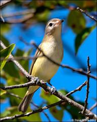 Warbling Vireo (Vireo gilvus) (Steve Arena) Tags: highhead northtruro truro barnstablecounty massachusetts 2019 nikon d750 bird birds birding warblingvireo vireo vireogilvus