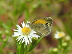 Dainty Sulphur (annette.allor) Tags: nathalisiole daintysulphur butterfly