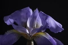 Purple  And Yellow Iris In The Light (Bill Gracey 24 Million Views) Tags: fleur flor flower iris offcameraflash yongnuo yongnuorf603n homestudio blackbackground macrolens floralphotography roguegrid softbox textures