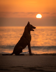 Negan I (Alexandremqs) Tags: explore yourbestoftoday sunset scene pets portrait outside mood warm canon colors dogs doglove dog perro photography outdoors natural malinois summer sunlight beach sun water