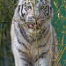White tigress and the bamboo