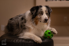 The Ottoman Ball (Jasper's Human) Tags: aussie australianshepherd dog ball ottomanempire play