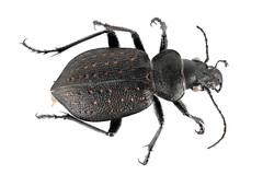 Anglų lietuvių žodynas. Žodis genus calosoma reiškia genties calosoma lietuviškai.