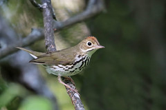 Ovenbird (Alan Gutsell) Tags: ovenbird oven bird warbler migration houghtonlake michigan statepark june breeding nature birds birding photography usa canon camera alan wildlife summer