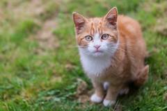 Kitten (Ronan McCormick) Tags: ilobsterit canon ireland animal cat cats catsofflickr ginger kitten portrait stray white