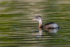 Little Grebe (Hishyar H.) Tags: zwergtaucher vogel bird nature wildlife d500 nikon bamberg deutschland birdphotography animal aquaticbird