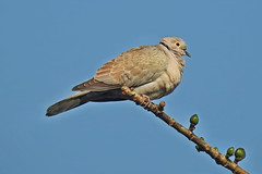 Eurasian collared dove ! (Lopamudra !) Tags: lopamudra lopamudrabarman lopa eurasiancollareddove dove bird murshidabad westbengal india beauty beautiful