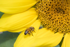 Sunflower (MichellePhotos2) Tags: insect sunflower flower flora summer michigan westmichigan newera farm nikon d850 nikond850 field macro 150mm prime bee lewisfarm