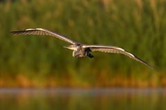 Grey Heron (Hishyar H.) Tags: bird nature wildlife birdinflight nikon d500 vogel bamberg deutschland graureiher animal tier