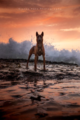Negan (Alexandremqs) Tags: explore yourbestoftoday sunset scene pets portrait outside mood warm canon colors dogs doglove dog perro photography outdoors natural malinois summer sunlight beach sun water