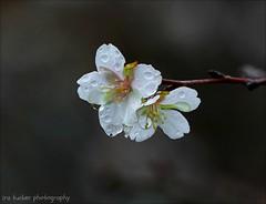 Remember, we all stumble, every one of us.... (itucker, thanks for 5+ million views!) Tags: macro bokeh cherry blossom cherryblossom fujicherry raulstonarboretum hbw drops raindrops