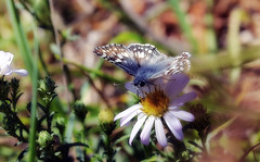 Checkered skipper on Pacific aster (TJ Gehling) Tags: insect lepidoptera butterfly hesperiidae skipper skipperbutterfly checkeredskipper pyrgus pyrguscommunis plant flower asterales asteraceae pacificaster symphyotrichum symphyotrichumchilense canyontrailpark elcerrito