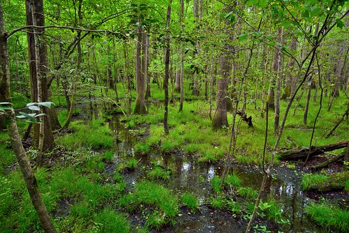 The Shape of Water and Trees (Congaree National Park)