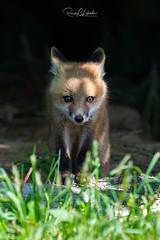 Red Fox - Vulpes vulpes | 2019 - 9 (RGL Photography) Tags: carnivora fox foxkits gardenstate jerseyshore kits monmouthcounty mothernature newjersey nikond5 nikonafs600mmf4gedvr redfox us unitedstates vulpesvulpes wildkingdom wildlife wildlifephotography ©2019rglphotography