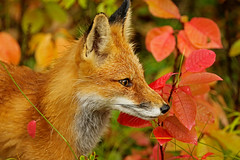 Red Fox Against Fall Colors (AlaskaFreezeFrame) Tags: fox redfox vixen cute nature wildlife outdoors canon telephoto alaska alaskafreezeframe animals mammals carnivore predator zorro sly frost winter beautiful gorgeous posing closeup portrait 70200mm fallcolors rainy wet female mammal redleaves