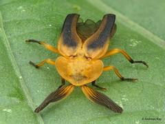 Firefly, Dryptelytra calocera? (In Memoriam: Ecuador Megadiverso) Tags: andreaskay beetle coleoptera dryptelytracalocera ecuador firefly focusstack lampyridae