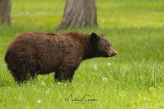 Black Bear (NikonDigifan) Tags: blackbear bear mammal animal nature naturephotography naturesfinest wildlife wildlifephotography montana pacificnorthwest nikon nikond850 nikon20050056 mikegassphotography