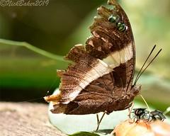 7910-1 (laba laba) Tags: africa gabon ivindo national park ivindonationalpark ipassa research station ipassaresearchstation butterfly insect macro closeup rainforest nature palla publius pallapublius