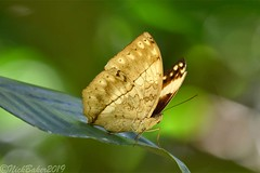 7922 (laba laba) Tags: africa gabon ivindo national park ivindonationalpark ipassa research station ipassaresearchstation butterfly insect macro closeup rainforest nature harma theobene