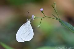 7915 (laba laba) Tags: africa gabon ivindo national park ivindonationalpark ipassa research station ipassaresearchstation butterfly insect macro closeup rainforest nature leptosia alcesta leptosiaalcesta