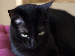 04 (rj.monaco) Tags: olympus omd em10 mark iii photography cat black eyes amateur photographer pet kitten home photo fotografía gato negro joy pro animal close up