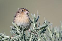 Grasshopper Sparrow (Gf220warbler) Tags: idaho emberiizidae ammodramus migrant passerine songbird