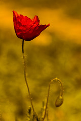 Soy frágil de corazón, pero puedo ser un demonio sin alma. (Elena m.d. 12.7M views.) Tags: flores flower 2019 fabuleuse popys amapolas sprint rojo red new