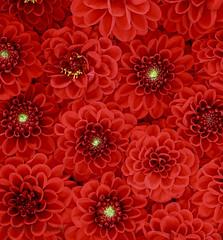 Red Dahlias - Explored September 20, 2019 (Sandra Mahle) Tags: red dahlias dahlia flora flower plant garden blooms nature reddahlias ngysaex ngysa canon canonphotography art photoart reddahlia explore