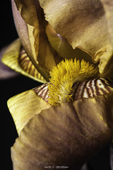 Brown Bearded Iris (Carloccc) Tags: beardediris flowers macro studio