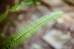 Green leaf (Matthew Paul Argall) Tags: mamiyamsx500 manualfocus 35mmfilm proimage100 kodakproimage100 leaf leaves