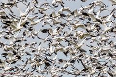 Snow Goose (Glenn R Parker) Tags: geese snowgoose