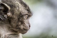 Glance (www.ownwayphotography.com) Tags: jungle apes nature primates animals wild nopeople animal portrait black wildlife ape mammal head monkey open rainforest blackmacaque fangs mouth face canine grin crestedblackmacaque funny macaques growl bellow celebes macaca
