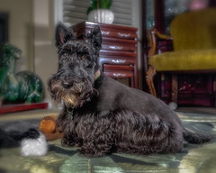 -20190918Miss Maggie9-Edit (Laurie2123) Tags: ad200 fujixt2 laurietakespics laurieturnerphotography laurie2123 maggie missmaggie odc odc2019 ourdailychallenge scottie scottishterrier blackscottishterrier blackdog home offcameraflash