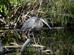 Alert heron. (EcoSnake) Tags: greatblueheron ardeaherodias gbh birds wildlife september idahofishandgame naturecenter