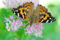 Painted Lady From Above (imageClear) Tags: sedum flower pink green color lovely above butterfly insect nature garden summer aututumn paintedlady beauty aperture nikon d500 105mm macro imageclear flickr photostream