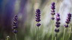Flower - 7423 (✵ΨᗩSᗰIᘉᗴ HᗴᘉS✵84 000 000 THXS) Tags: purple violet canon canonrp bokeh soft belgium europa aaa namuroise look photo friends be yasminehens interest eu fr party greatphotographers lanamuroise flickering