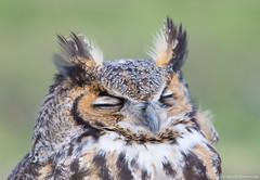 Time to sleep (v4vodka) Tags: bird birding birdwatching nature animal wildlife owl owlet predator raptor birdofprey greathornedowl longisland newyork tigerowl hootedowl bubovirginianus puchacz puchaczwirginijski virginiauhu 大鵰鴞