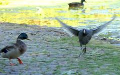...alle, die nicht bei drei im Wasser sind (naturgucker.de) Tags: ngidn429577760 fulicaatra blässhuhn