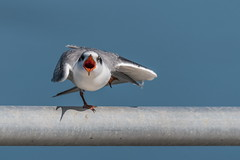 Whispering ballerina (xrayman.dd) Tags: tern singing bird animal