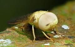 from Ecuador: www.youtube.com/AndreasKay (In Memoriam: Ecuador Megadiverso) Tags: andreaskay chlorotabanussp diptera ecuador fly focusstack greenhorsefly horsefly idbyrobertvelten jardinbotanicolasorquideas tabanidae