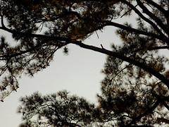 Branches And Evening Sky. (dccradio) Tags: lumberton nc northcarolina robesoncounty outdoor outdoors outside tree trees branch branches treebranch treebranches sky pine evergreen pinecones eveningsky nikon coolpix l340 bridgecamera photooftheday photo365 project365 treelimb treelimbs september evening wednesday wednesdayevening goodevening