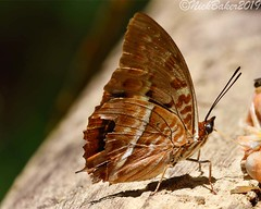 7936 (laba laba) Tags: africa gabon ivindo national park ivindonationalpark ipassa research station ipassaresearchstation butterfly insect macro closeup rainforest nature charaxes cynthia characescynthia