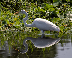 White Egret Reflection (dbadair) Tags: outdoor seaside shore sea sky water nature wildlife 7dm2 7d ii ef100400mm ocean canon florida bird
