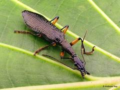 from Ecuador: www.youtube.com/AndreasKay (In Memoriam: Ecuador Megadiverso) Tags: agrasp andreaskay beetle carabidae coleoptera ecuador focusstack groundbeetle idbyenricoruzzier id597