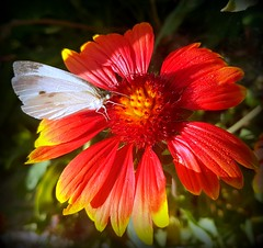 White butterfly (Ioannis Ks) Tags: butterfly garden gaillardia flower plant nature crete droplets