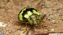 from Ecuador: www.youtube.com/AndreasKay (In Memoriam: Ecuador Megadiverso) Tags: andreaskay beetle chrysomelidae coleoptera ecuador flickr id596 platyphorasp youtube