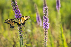 Tigers on Blazing Star (Bernie Kasper (6 million views)) Tags: art berniekasper butterfly bug butterflies bugs bigoaksnwr color colour d750 effect family flower floral flowers fun hiking indiana indianawildflowers insect insects indianabutterflies image light love madisonindiana macro nature nikon naturephotography new nwr outdoors outdoor old outside photography plant photos plants photo people raw sigma summer swallowtail blazingstar travel trail unitedstates usa wildflower wildflowers tigerswallowtail