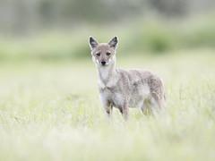 Oeganda '15_0783 (Jimmy Vangenechten 76) Tags: geo:lat=373552900 geo:lon=3372834100 geotagged oeganda uganda africa afrika wildlife safari animal dier scenic landschap landscape scenery kidepovalleynationalpark vos fox